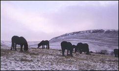 fell ponies on the hill