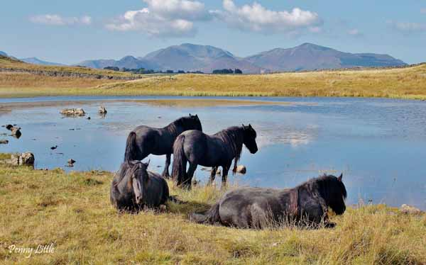 Fell Ponies by a tarn
