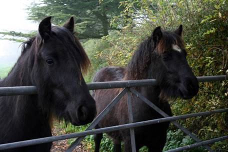 two fell ponies looking over a gate