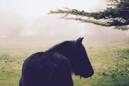 fell pony in the mist