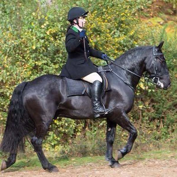 black fell pony out hunting