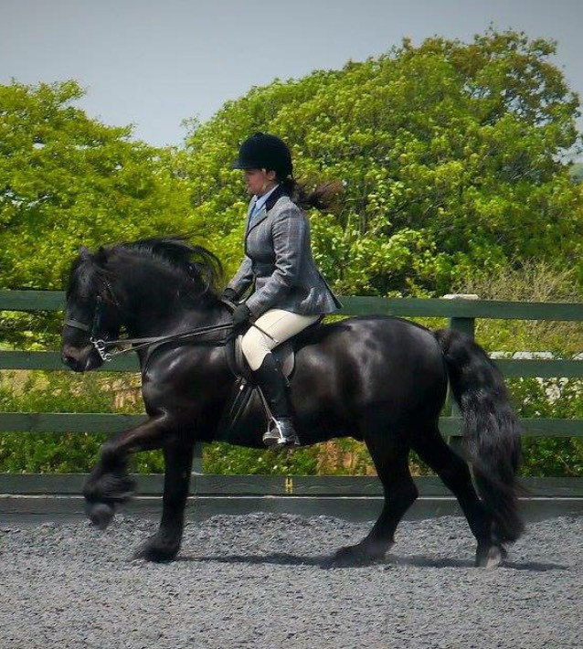 black fell pony being ridden