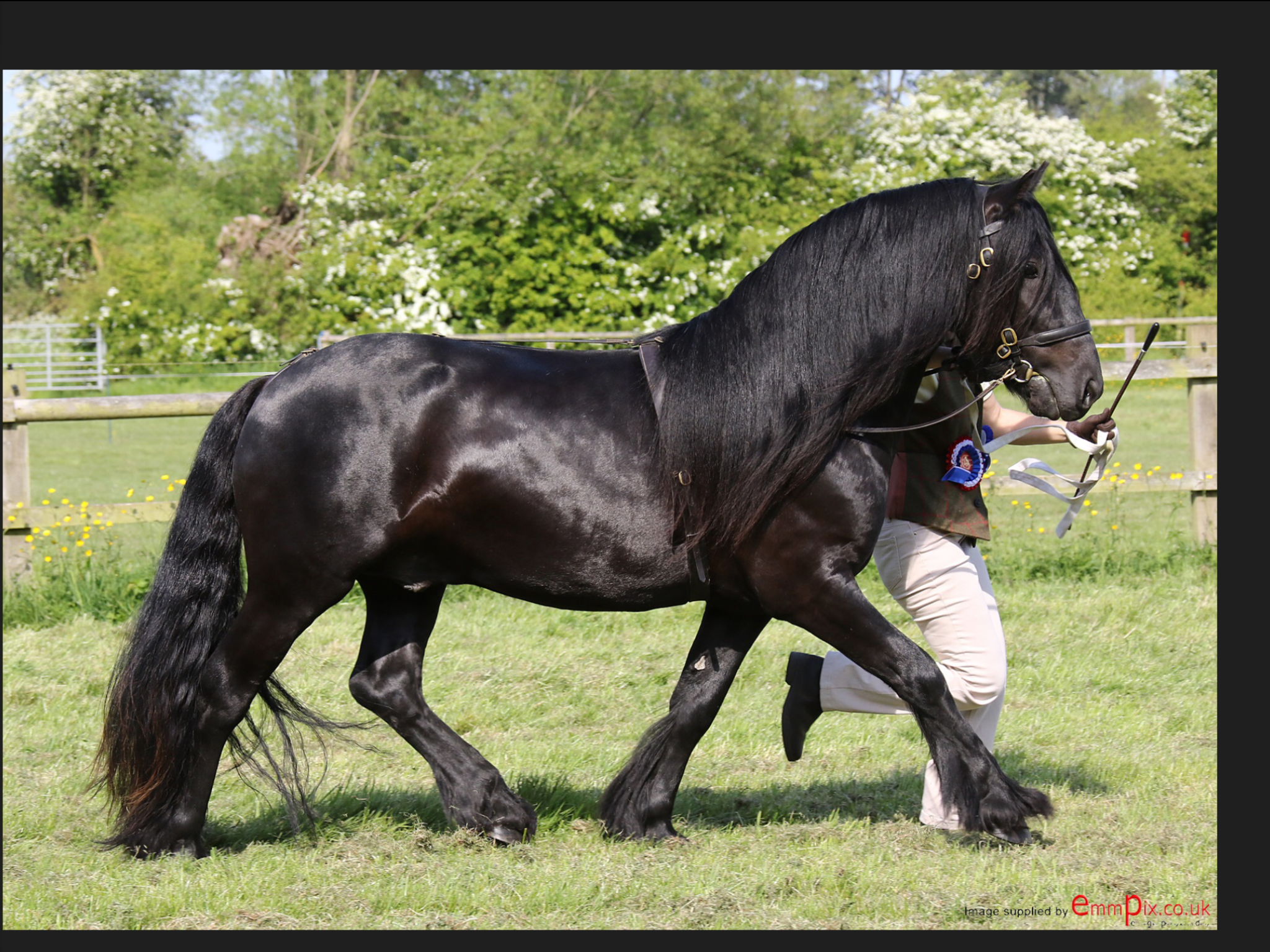 black fell pony stallion for sale
