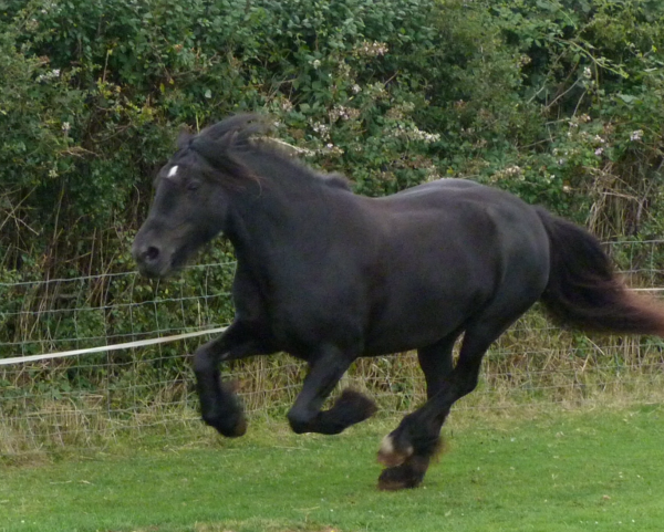 black fell pony mare for sale
