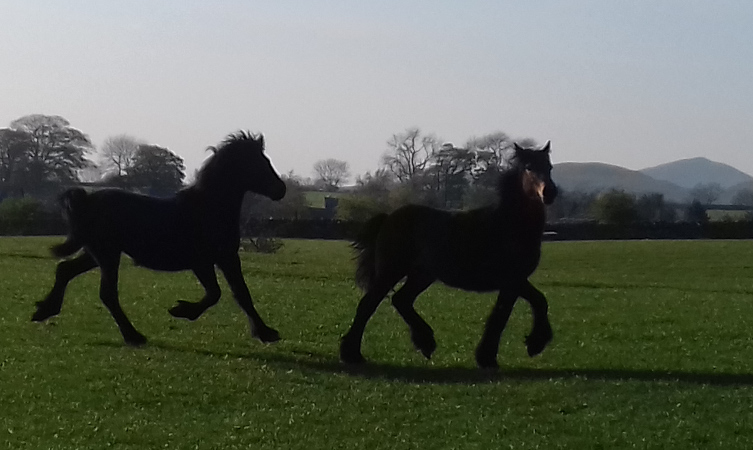 yearling fell ponies for sale