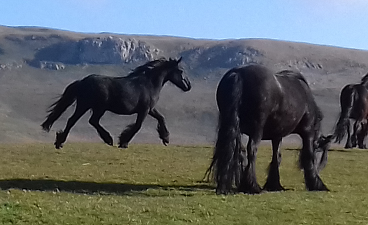 fell ponies for sale
