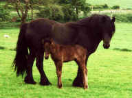 Inglegarth Illustrious with her colt foal Inglegarth Premier by Bracklinn Fergus. [ Select to view a larger image ]
