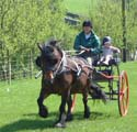 Fell pony in carriage