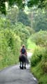 Brown Fell pony hacking down a lane